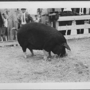 Swine--State Fair