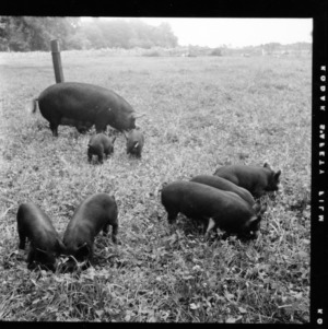 Pig and piglets in field