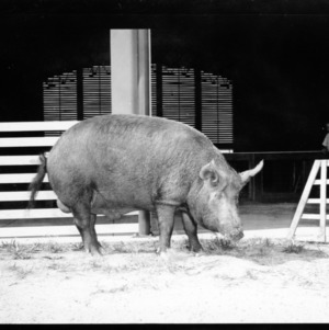 Elmer Daniel of Spring Hope and Tamworth Boar--Pictures of Tamworth hog for show, September 1953, State Fair Coliseum