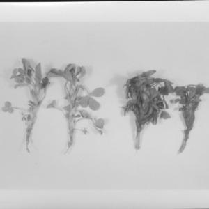 Alfalfa stem nematode, March 1954