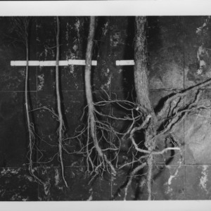 Farm and Home Week: Four pine seedlings 1-4 yrs to show depth of planting, June 1954