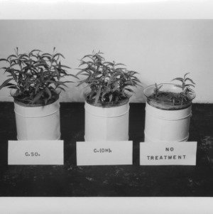 Farm and Home Week: CaSO4 and Ca(OH)2 treatment on peach seedlings in jars, June 1954