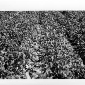 Cotton, Nematodes: Section of Nematodes Infested Field Showing Good Cotton, Joe Sanders Farm, Johnson County, August 1954