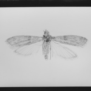 Adult tobacco Moth (Ephestia elutella) on stored tobacco
