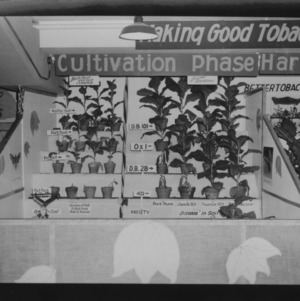 NC State Fair, October 1954: 1954 State Fair Tobacco Exhibits