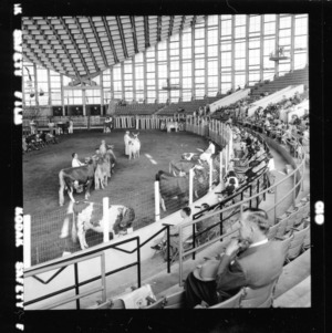 Cattle judging event in NC State Fair Arena