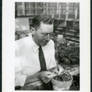 E. B. Morrow in greenhouse with strawberries