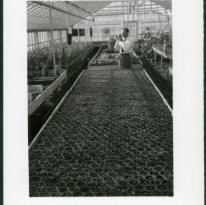C. B. Morrow in greenhouse with strawberries