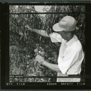Examining peaches at Sandhills Peach Station