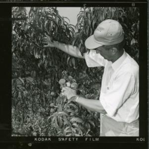 Examining peach tree at Sandhills Peach Station