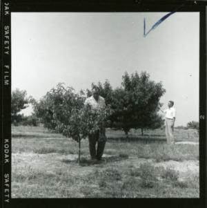 Examining peach trees at Sandhills Peach Station