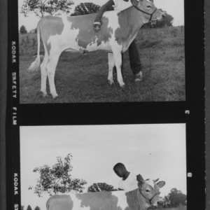4H boy with calf, used in News and Observer