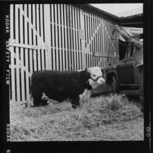 N. C. State Fair: Beef, Hereford grand champion female