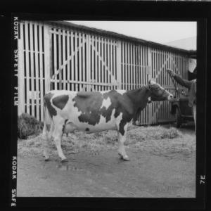 N. C. State Fair: Dairy, Gurnsey grand champion female