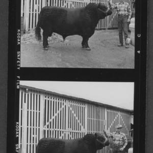 N. C. State Fair: Beef, Angus Grand Champion Male