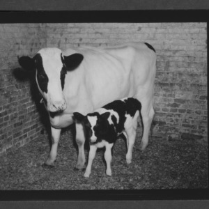Cow and calf at State animal hospital