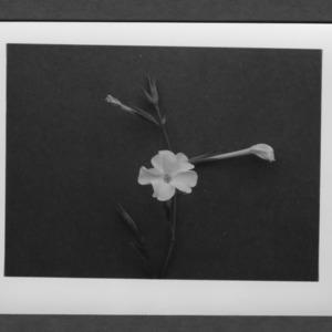 N. excelsior (flower)