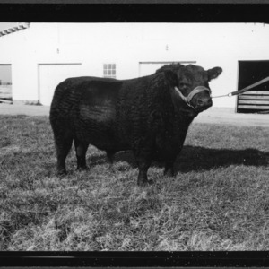 $2500 Black Angus Bull at College Farm