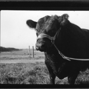 $2500 Black Angus bull at College Farm; Champion at North Carolina State Fair, 1956