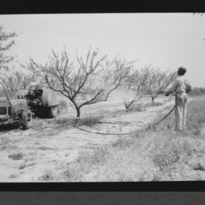 Peach tree spraying at Sand Hills Experiment Station