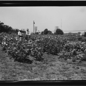 Experimental rose garden at Method Station