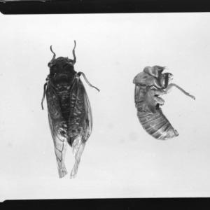 17 year locust; Locust