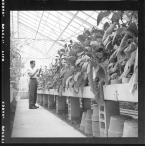 Greenhouse shots of experimental tobacco