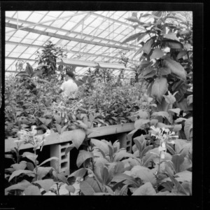 Greenhouse shots of experimental tobacco