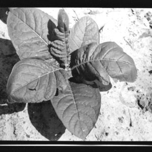Lenoir County: Insecticide injury Tobacco