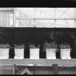 Ladino Clover, in pots in greenhouse