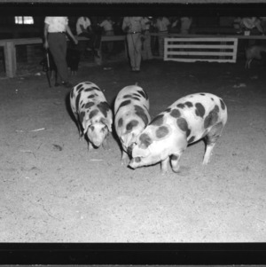 Swine Show and Sale at NC State Fair