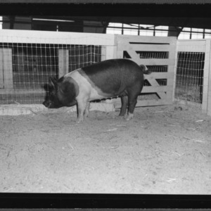 Swine Show and Sale; State Fair grounds