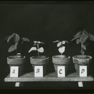 Cyst nematodes on soybeans; Roots and plant picture in pots