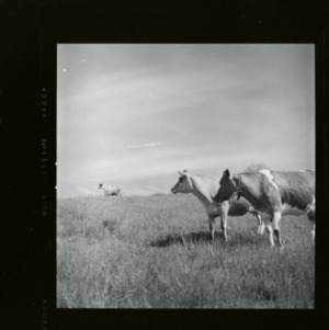 Dairy cattle on Upper Mountain Experiment Station pasture