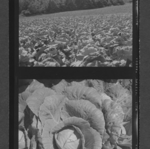 Cabbage fields on Ashe County farm