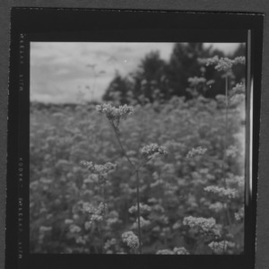 Buckwheat field on Ashe County farm