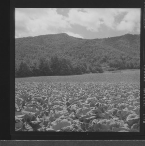 Cabbage field on Ashe County farm