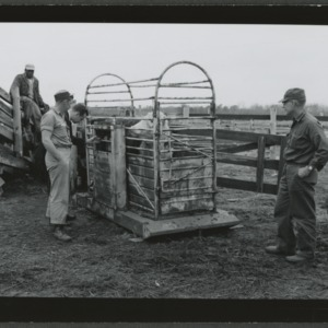Beef cattle being weighed at Menair Farm
