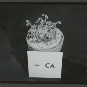 Calcium experiment on potted plants