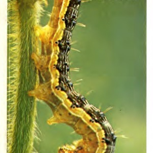 Soybean insect pests: field identification guide (Agricultural Extension Publication 214)