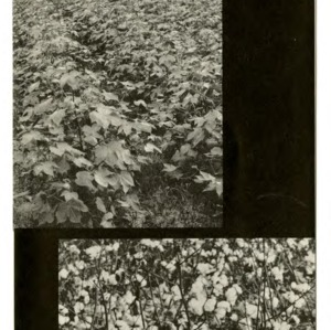 Cotton defoliation (Extension Folder 214)